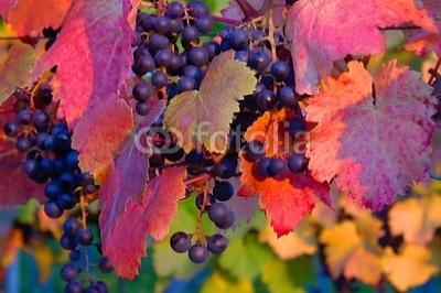 Weinlaub rote Trauben