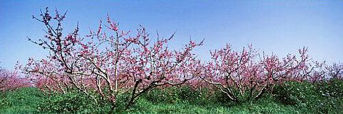 Baumblüte Mallorca © Copyright by PANORAMO Raubkopieren wird verfolgt und kostenpflichtig abgemahnt