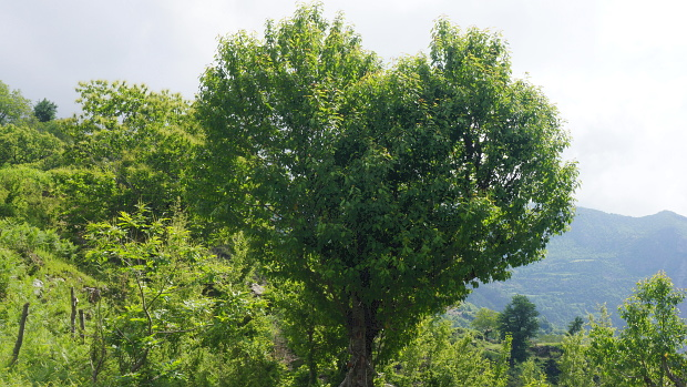 Ein Baum hat die Form eines Herzen Disvover Albania © Copyright by Karl-Heinz Hänel