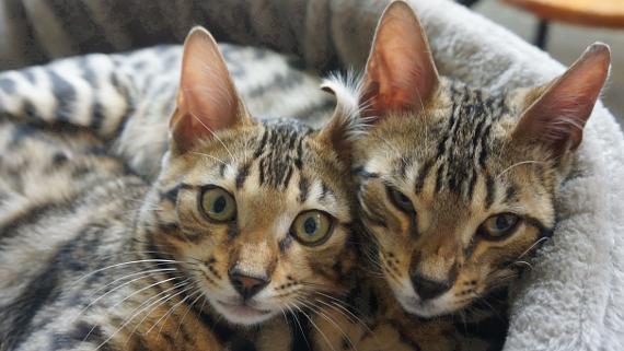 Hauskatzen © Copyright Karl-Heinz Hänel